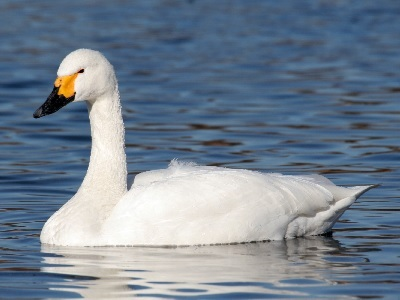 Bewick's Swan (C. columbianus) at WWT Slimbridge