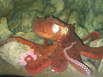 Giant Pacific Octopus (Enteroctopus dofleini) at Bristol Aquarium
