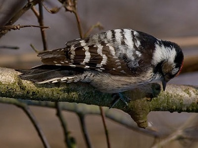 Lesser Spotted Woodpecker (Dendrocopos minor) at RSPB Highnam Woods