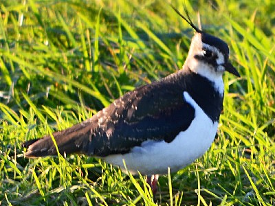 Northern Lapwing (Vanellus vanellus) at RSPB Exminster and Powderham Marshes