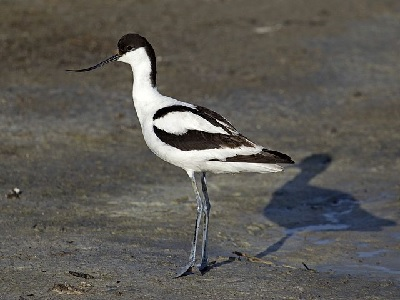 Pied Avocet (Recurvirostra avosetta) at RSPB Old Hall Marshes